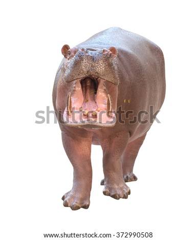 hippopotamus (Hippopotamus amphibius) isolated on white background - stock photo