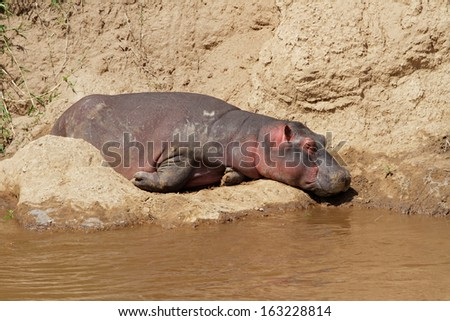 Hippopotamus (Hippopotamus amphibius) resting on river bank, Mara river, Kenya  - stock photo