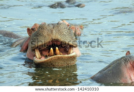 Hippopotamus (Hippopotamus Amphibius) Showing Teeth, Serengeti, Tanzania - stock photo