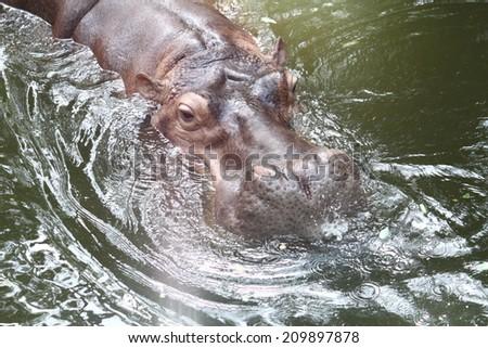Hippopotamus (Hippopotamus amphibius) swimming in zoo thailnad - stock photo