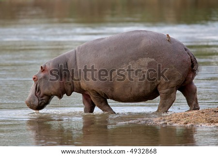 Hippopotamus (Hippopotamus amphibius) walking in shallow water, Sabie-Sand nature reserve, South Africa	 - stock photo