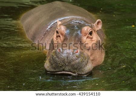 Hippopotamus,hippopotamus in zoo. - stock photo