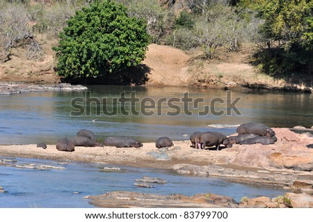 Hippopotamus in a river in the Kruger National Park, South Africa. - stock photo
