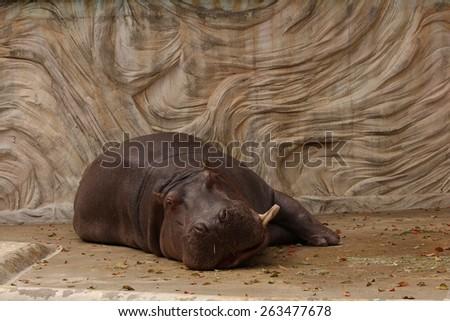 hippopotamus in a zoo lying down - stock photo