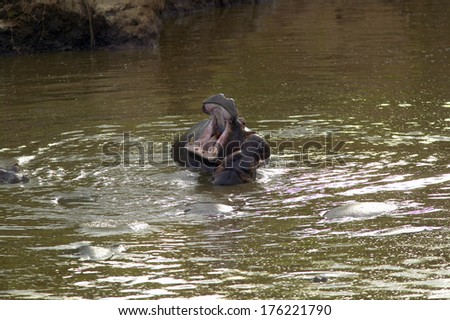Hippopotamus in pool of water with mouth opened in Masai Mara near Little Governor's camp in Kenya, Africa