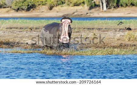 Hippopotamus in the Chobe National Park - Botswana, Africa - stock photo