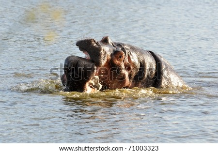 Hippopotamus in the Kruger National Park, South Africa - stock photo