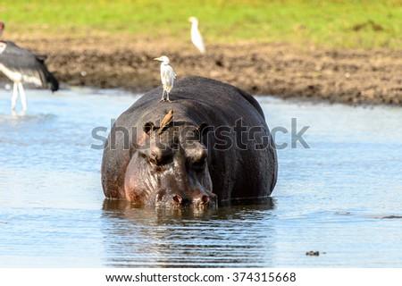 Hippopotamus in the lake with birds on his back, in the Moremi Game Reserve (Okavango River Delta), National Park, Botswana - stock photo