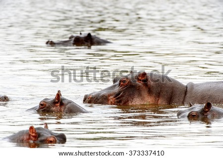 Hippopotamus, in the Moremi Game Reserve (Okavango River Delta), National Park, Botswana