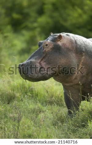 hippopotamus in the serengeti reserve - stock photo