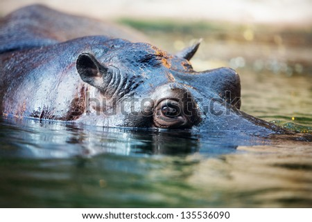 hippopotamus in the water - stock photo