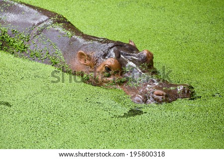 hippopotamus in the zoo. - stock photo