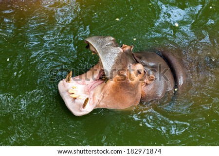 Hippopotamus in the zoo request for more feeding food. - stock photo