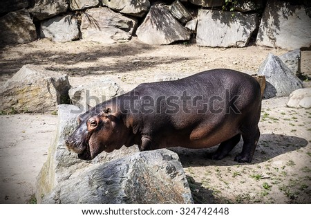 Hippopotamus in zoo - stock photo