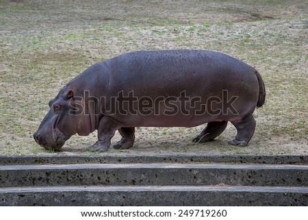 Hippopotamus in Zoo, Gda?sk, Poland - stock photo