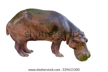 hippopotamus on white background - stock photo
