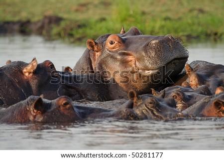 Hippopotamus pool, Chobe River, Botswana - stock photo