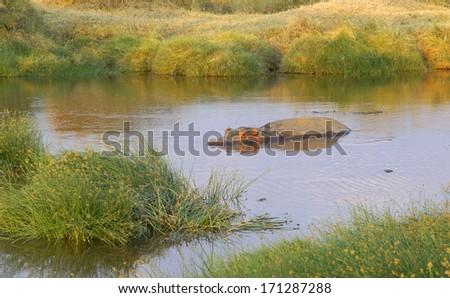 hippopotamus relaxing in a pool of water  - stock photo
