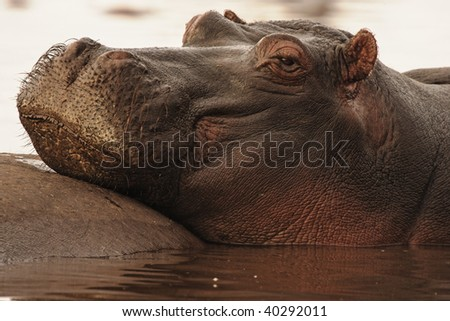 Hippopotamus resting in the early morning light in Lake Manyara in Lake Mayara National Park, Tanzania.