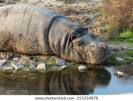 Hippopotamus resting on the edge of a river.  - stock photo