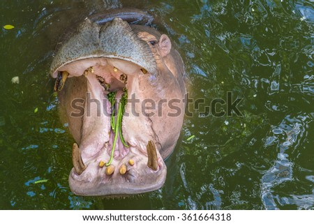 Hippopotamus showing huge jaw and teeth. Yawning hippo / The hippopotamus, or hippo, from the river at water level on a hot sunny summer day. - stock photo