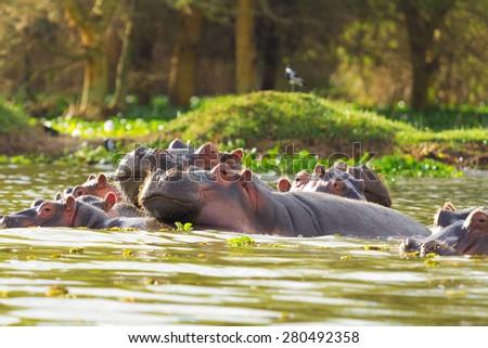 Hippopotamus showing over the waters of Lake Naivasha - stock photo