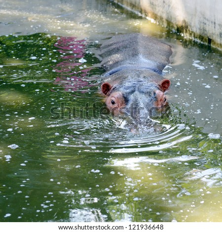 Hippopotamus swimming in the pond. - stock photo