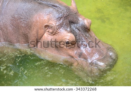 Hippopotamus swimming in the river - stock photo