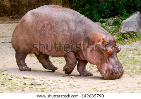 Hippopotamus walking