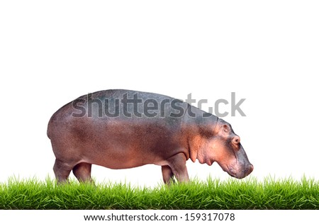 hippopotamus with green grass isolated on white background - stock photo