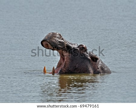Hippopotamus with its beak open in the Kruger National Park, South Africa - stock photo
