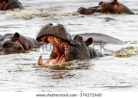 Hippopotamus with open mouth in the Moremi Game Reserve (Okavango River Delta), National Park, Botswana