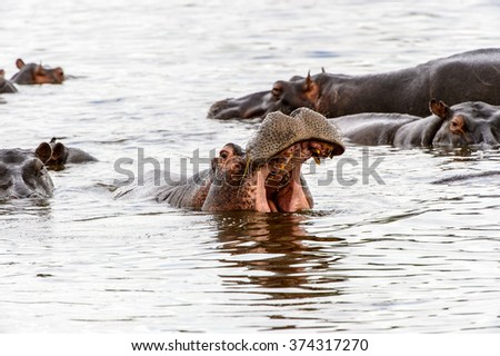 Hippopotamus with open mouth in the Moremi Game Reserve (Okavango River Delta), National Park, Botswana - stock photo