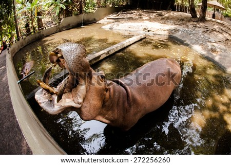 hippopotamuses (Hippopotamus amphibius). at the Hippo pools - stock photo