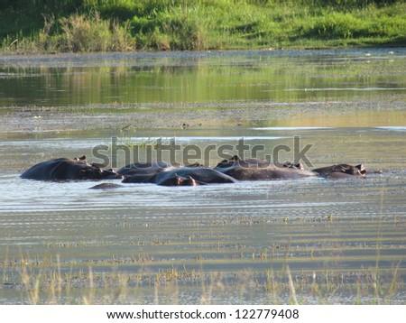 Hippos. - stock photo