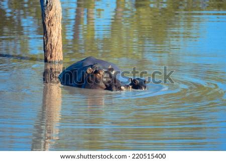 Hippos - stock photo