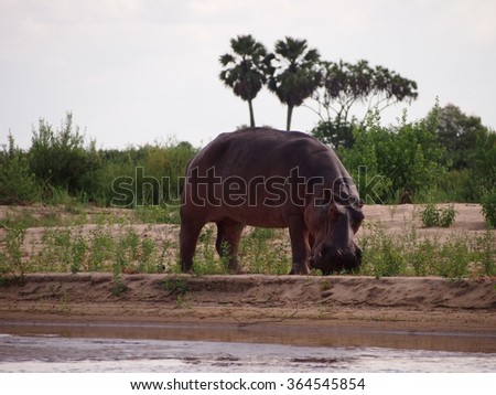 Hippos at water's edge in Selous Game Reserve, Tanzania - stock photo
