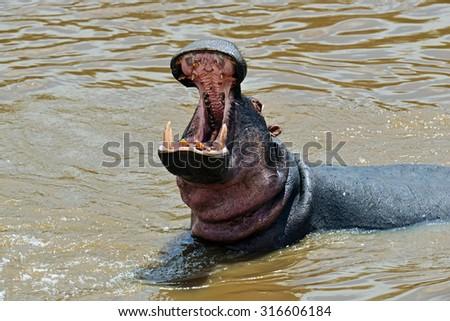 Hippos in Lake Naivasha National Park in Kenya - stock photo