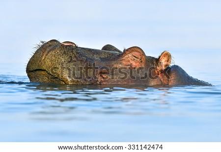 Hippos in Lake Naivasha National Park Naivasha  - stock photo