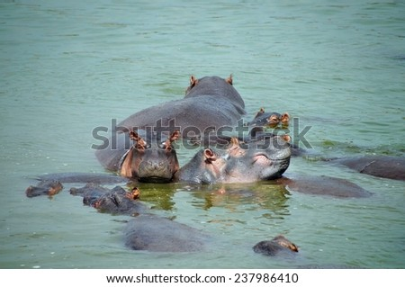 Hippos in the water of Kazinga Channel at Queen Elizabeth National Park, Uganda - stock photo