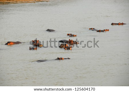 Hippos, North Lwanga National Park (Zambia) - stock photo