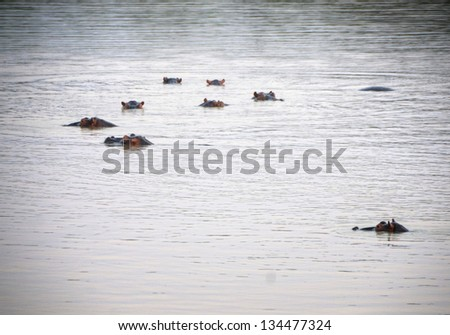 Hippos swimming in South Luangwa National Park, Zambia, Africa - stock photo