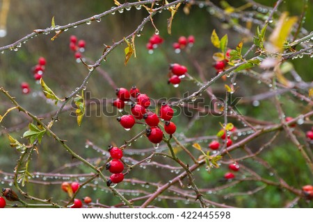 Hips. Berry red fruit of wild rose  in autumn with raindrops  - stock photo