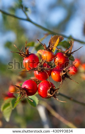 Hips. Berry red fruit of wild rose (Rosa canina) in autumn - stock photo