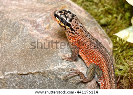 Hispaniolan masked (green-legged or jewelled) curly-tailed lizard (Leiocephalus personatus) close-up