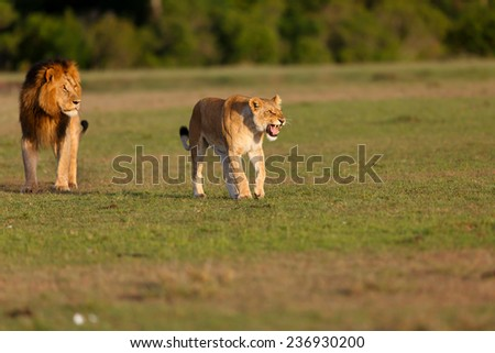 Hissing Lioness with Lion Mohican in the background in Masai Mara, Kenya - stock photo