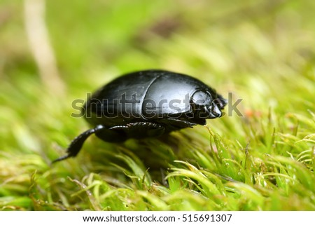 Hister beetle, Histeridae on moss