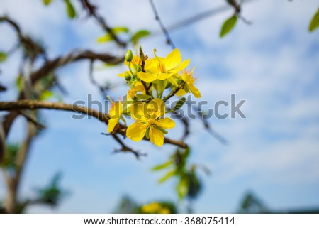HO CHI MINH CITI, VIET NAM: 26 JAN 2016 - The apricot flower tree in tropic spring time