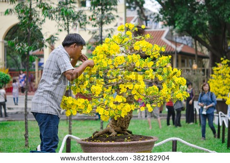 HO CHI MINH CITY, VIETNAM- FEB 8, 2016 : A man trim apricot flowers at Tao Dan park, Ho Chi Minh city, Vietnam. Feb 8, 2016