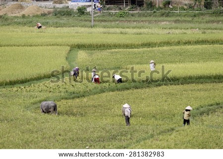 HOA BINH VIETNAM May 22 2015 unidentified farmer are harvesting rice and carries rice from the farm home in Hoa Binh, Vietnam. Hoa Binh is a biggest rice stock in north Vietnam